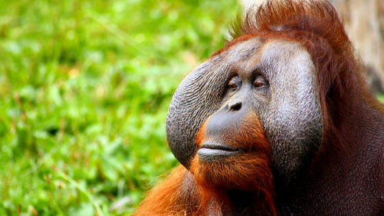 Top Things To See & Do In Indonesia - Orangutan